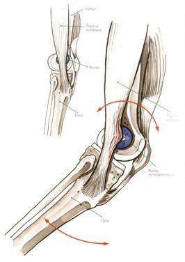 loeberknae-anatomi-billede_266x376.jpg